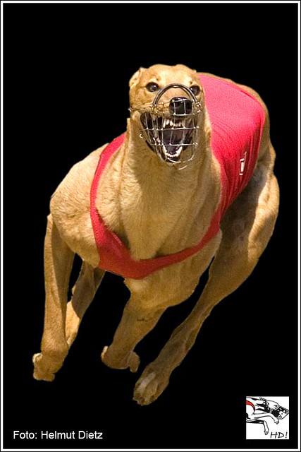 DAS Greyhound - Photo der Windhundzeitung.de von Helmut Dietz, Bielefeld