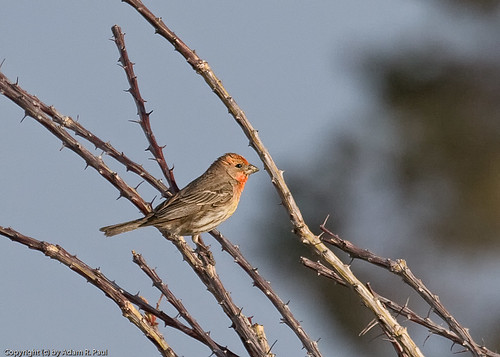 House Finch by you.