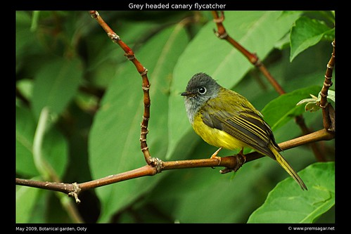 Grey Headed Canary Botanical garden 3