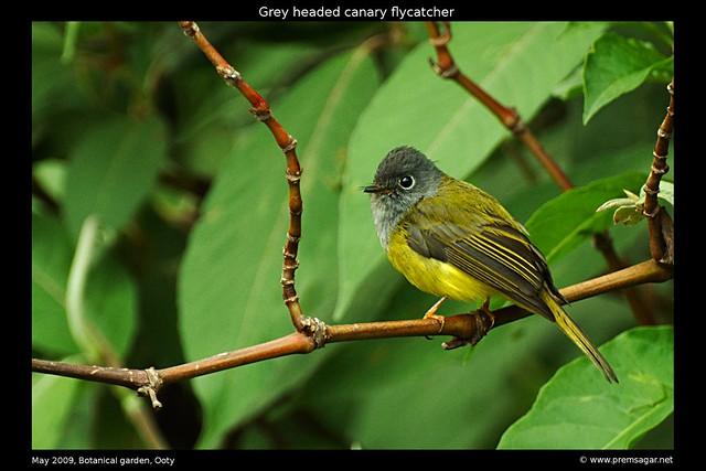 Grey Headed Canary flycatcher 3