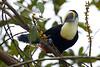 Tucano de bico roxo (Luiz C. Salama) Tags: wild bird animal fauna freedom toucan free liberdade ave silvestre livre passaro amazonia tucano duetos platinumphoto tucanobicoverde