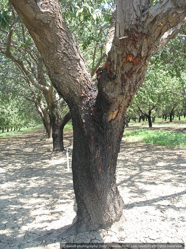 Gumming of almond tree caused by Ceratocystis