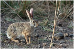 A shy visitor! (Naseer Ommer) Tags: canon mammal rodent hare rajasthan lagomorpha leporidae lepus blacknapedhare naseerommer canoneos40d malayalikkoottam vosplusbellesphotos ranthambhorenp indianhare lepusnigricollis
