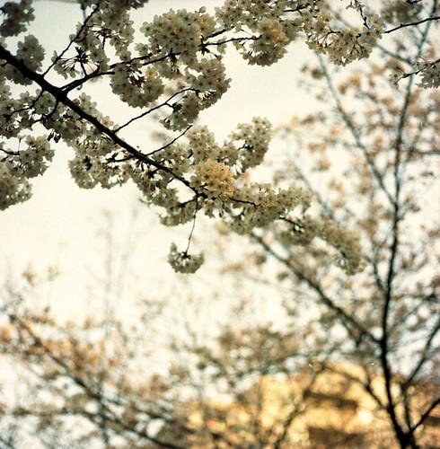 Cherry Blossom Branch Fragments