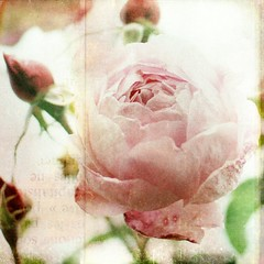 L A . V I E . E N . R O S E (Miss K.B.) Tags: pink light summer flower macro texture love nature rose vintage square ilovenature flora soft dof bokeh details rosa romance explore buds nikkor frontpage textured blooming  storypeople 50mmf14d 500x500 bokehlicious nikond80  lesbrumes