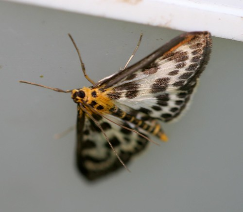 Small Margpie  (Eurrhypara hortulata)