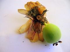 Passiflora -fruit (Alexxl) Tags: fruit passiflora