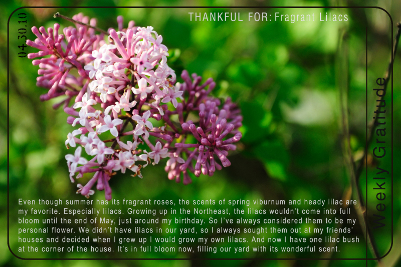 Grateful for Frangrant Lilacs