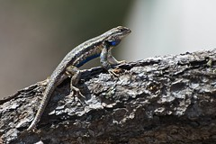 I haz a blue belly (bytegirl24) Tags: newmexico santafe reptile lizard bluebelly coldblooded easternfencelizard