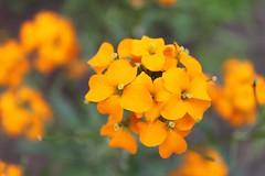 Elegant (halina.reshetova) Tags: flowers summer orange plants nature hennysgardens