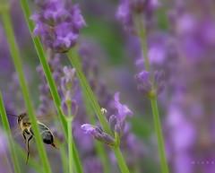 Bye, bye! (mmicho) Tags: summer garden purple violet lavender jardin bee t lavande abeille
