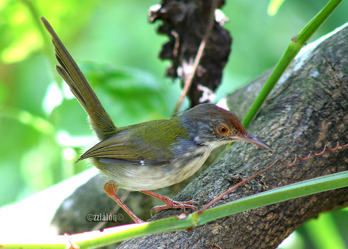 Perenjak Pisang @ Common Tailorbird