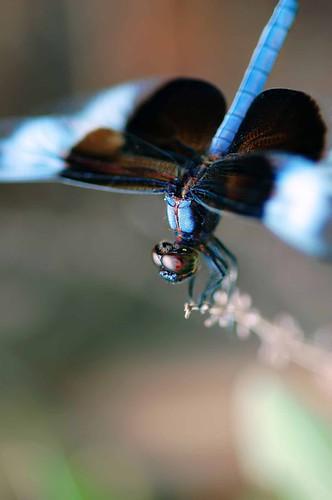 verticaldragonfly