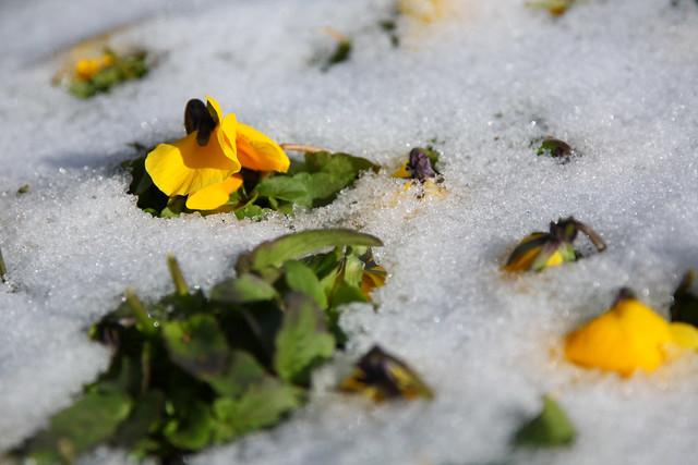 雪中の開花