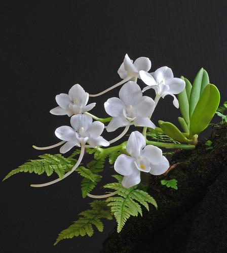 Amesiella philippenense
