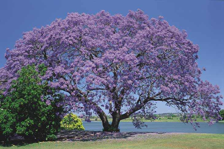 I ve already planted one   Jacaranda Tree Flower
