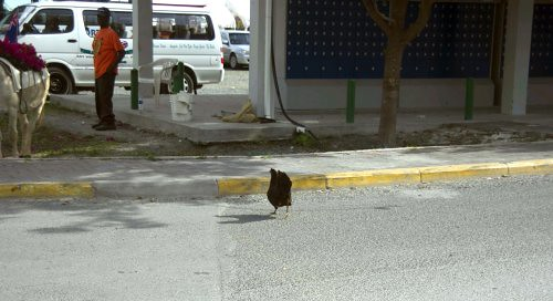 Chicken crossing the road in the Caribbean