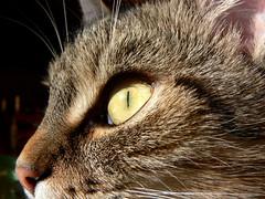 julca staring (smichal) Tags: sun macro cute eye cat hair nose nice play pussy kitty sunrays makro muffle detailed nozzle cateye julca