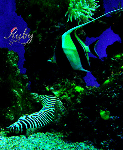 Monaco_aquarium_zebra_moray_eel