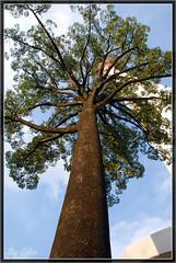 Menara 100 Year Old Tree - by Sam Calma