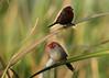 Crimson Finches (Greg Miles) Tags: australia westernaustralia birdwatcher kununurra crimsonfinch neochmiaphaeton