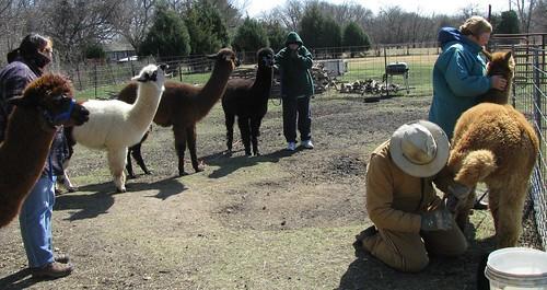 Herd Health Day - Jacob's Reward Farm
