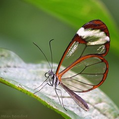 Glasswing Butterfly (Helen Beresford) Tags: butterfly insect wings sheffield transparent tropicalhouse potofgold naturesfinest glasswing matchpointwinner mylenssteamedup0