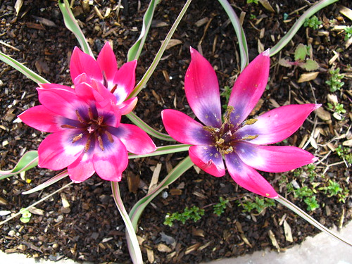 Tulipa hageri or T. humilis 'Little Beauty'