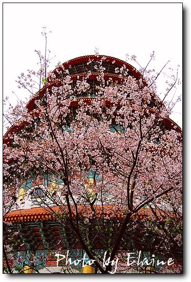 2009天元宮櫻花