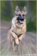 Schäferhund in action