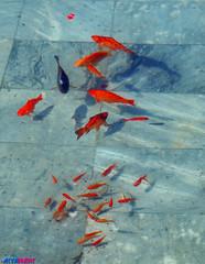 Family (Aria Mehr) Tags: fish goldfish