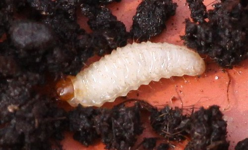 Grub - Larva