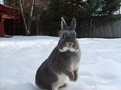 Dodger (AubreyMo) Tags: bunny dodger netherlanddwarfrabbit