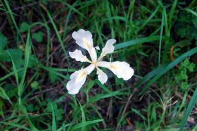 4wild-iris!.jpg