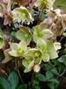 Helleborus Ivory Prince