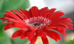 Gerbera Red (ek'nmy) Tags: flowers red nature nikon gerbera malaysia d80 tbfscontest36 ufcontest2