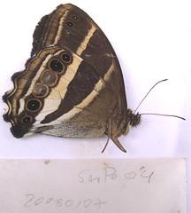 Parataygetis albinotata