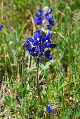 Bluebonnet (DanMeyers) Tags: texas bluebonnet elconejo buffaloclover wolfflower