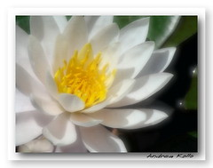 Vision in White (Andrea Kollo Photography) Tags: white nature waterlily lily simplicity lillies goldengarden shuttersisters flickrsawesomeblossoms vosplusbellesphotos blipfree andreakollo springhillphotography floralfantasia flickartist flowerorfoliandetail