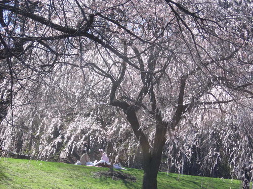 Picnic among cherry blossoms