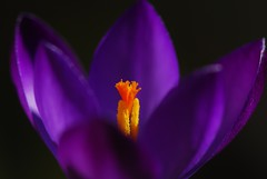 Spring flower and colours, Purple Crocus, Purpurea Grandiflora (natureloving) Tags: orange flower colour macro nature yellow spring nikon dof purple crocus purplecrocus afsvrmicronikkor105mmf28gifed d40x natureloving flowersinfrance purpureagrandiflora fleursenfrance