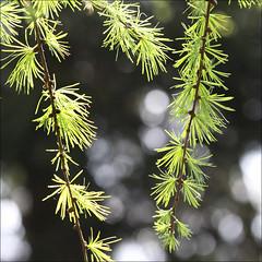 backlit larch (*regina*) Tags: tree backlight larch lrche anawesomeshot