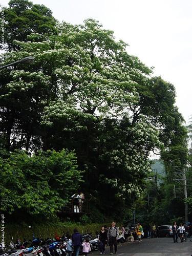 20090426土城承天禪寺賞桐花 (7).jpg