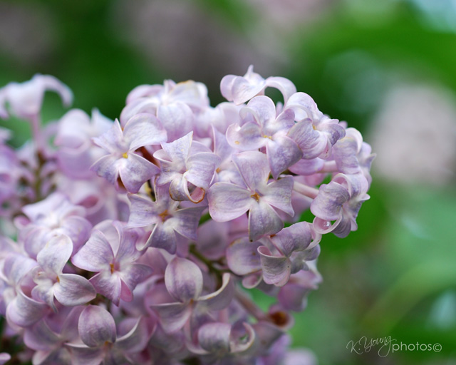 Lilac blooms waning