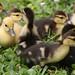 Muscovy Chicks