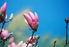 Magnolia blooms in Milwaukee