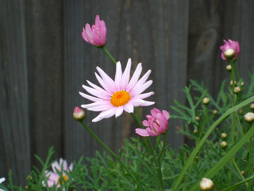 The Ubiquitous Daisy