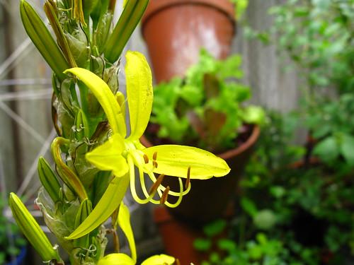 2009-05-06 garden; Asphdeline lutea