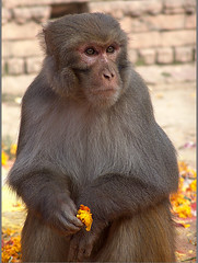 Waiting... (Sukanto Debnath) Tags: nepal portrait india flower animal fur mammal temple monkey waiting indian sony common marigold f828 pashupatinath debnath sukanto sukantodebnath