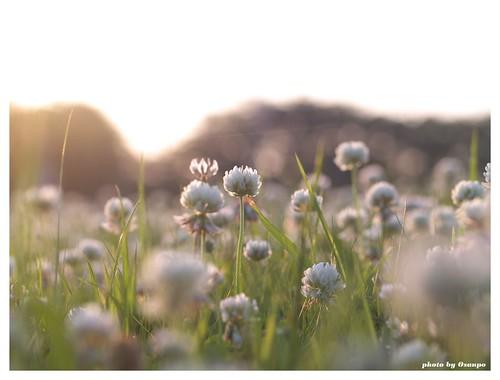 White clover 20090520 #03